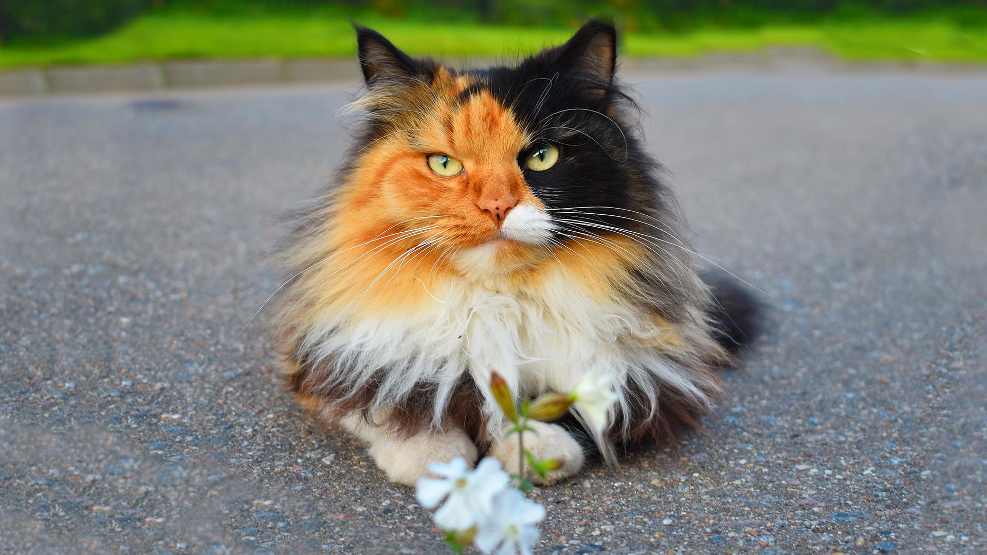 Características e personalidades dos gatos tricolores