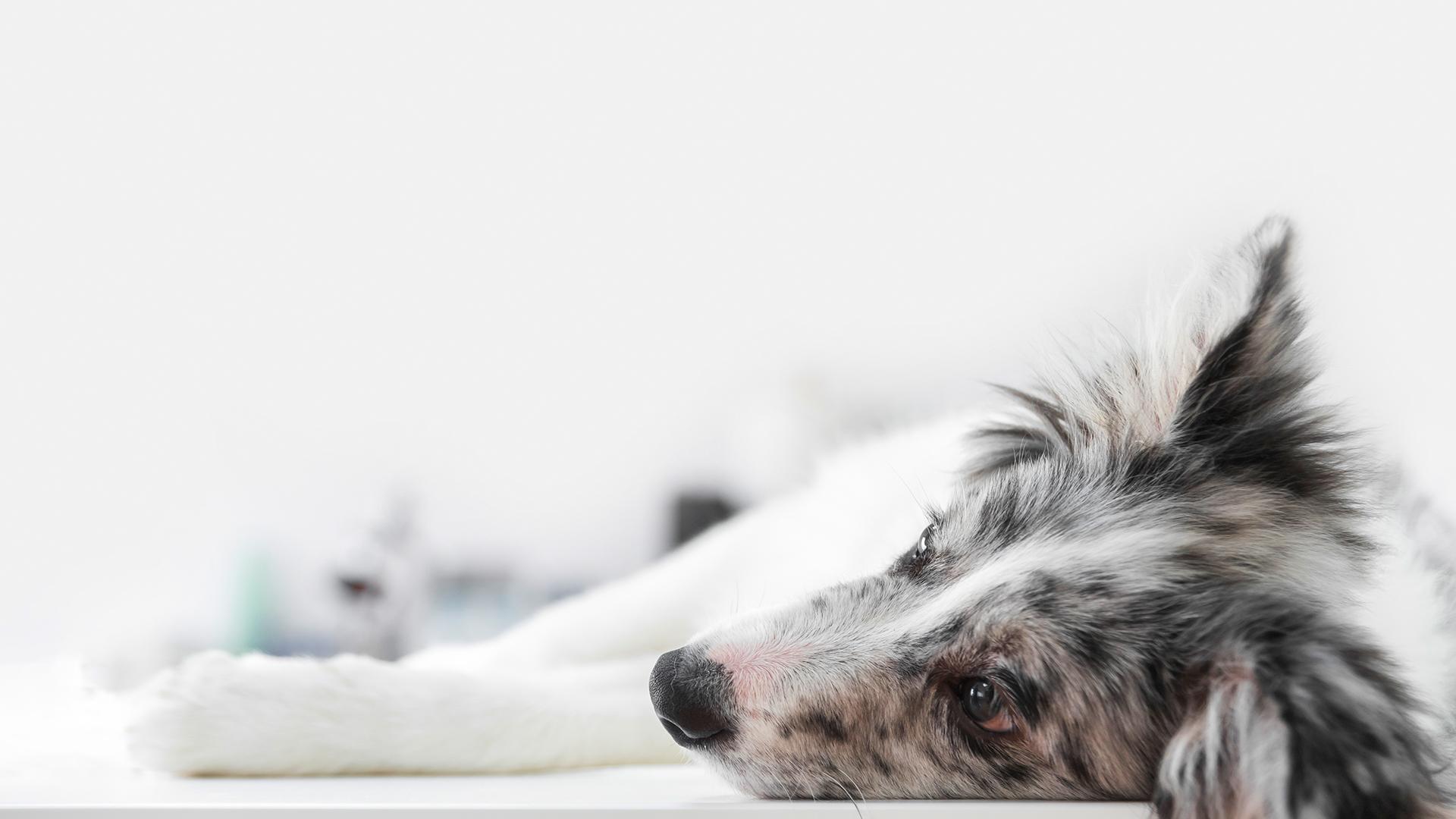 Hipotireoidismo em cães: sintomas e tratamento