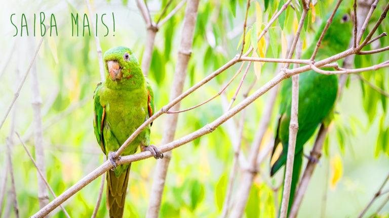 Conheça mais sobre a maritaca, ave encontrada em quase todo o Brasil
