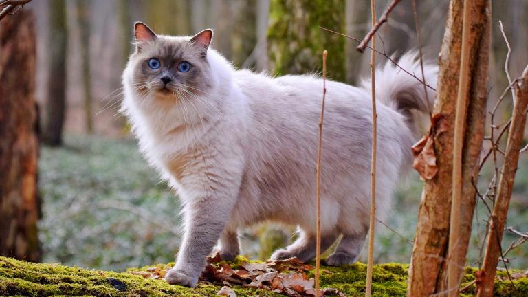 Grandes, peludos e fofos: ragdoll é uma raça para quem tem muito amor e espaço para gatos
