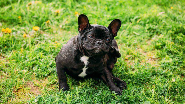 Ácaro em cachorro: como prevenir e qual o tratamento