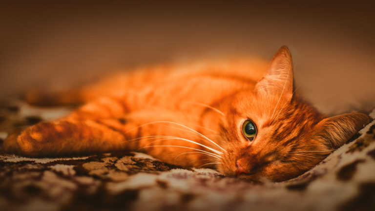 Sangue nas fezes do gato: causas e tratamento