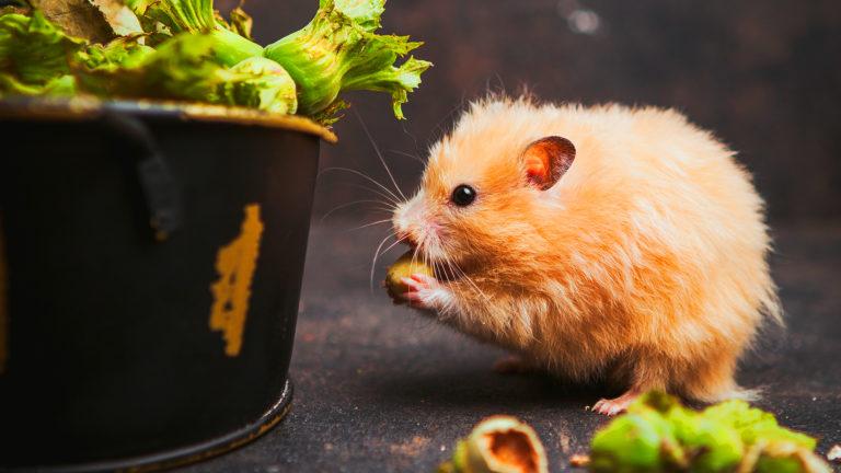 Hamster: saiba a diferença entre o sírio e o chinês