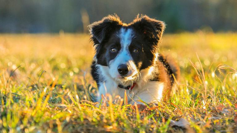Border collie: um cão apaixonado pela vida de cão