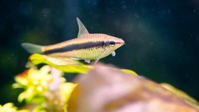 Saiba quais são as principais espécies que limpam aquários