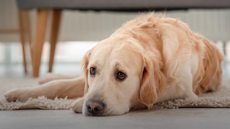 Gastrite nos cães: como tratar e prevenir